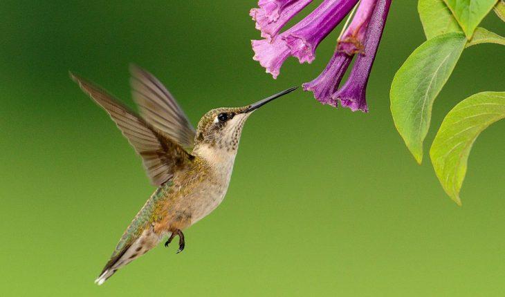 Ptica kolibri – najmanja ptica na svetu