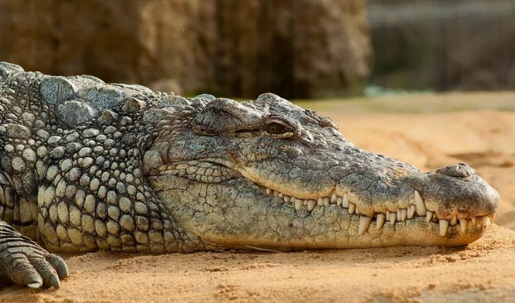 Morski krokodil – karakteristike, informacije i zanimljivosti