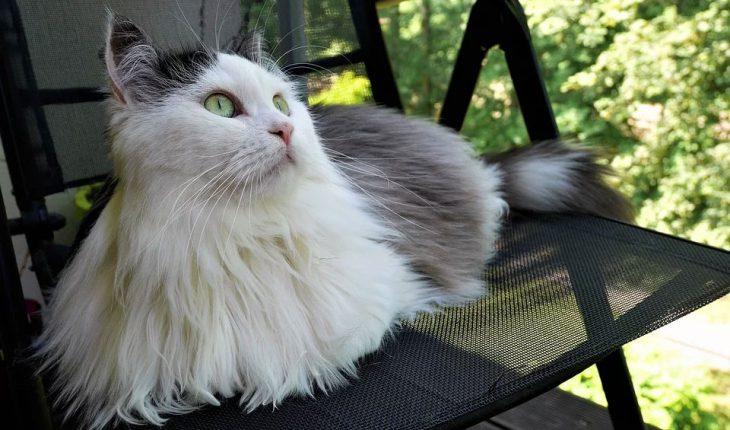 Velika dugačka maca