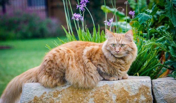 Najveća mačka na svetu i najveće rase mačaka