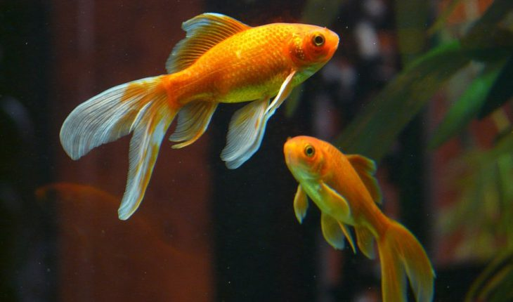 Akvarijumske ribice – vrste, informacije, gajenje i cene