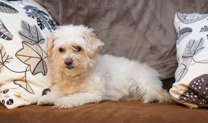 Opadanje dlake kod pasa – uzrok i lečenje