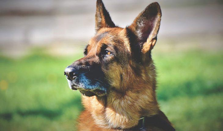 Upala uha kod pasa – simptomi, uzrok i lečenje